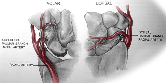 Scaphoid Bone Anatomy | Bone and Spine